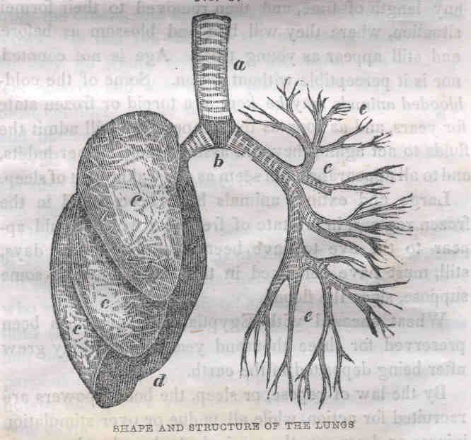 Shape and structure of the Lungs